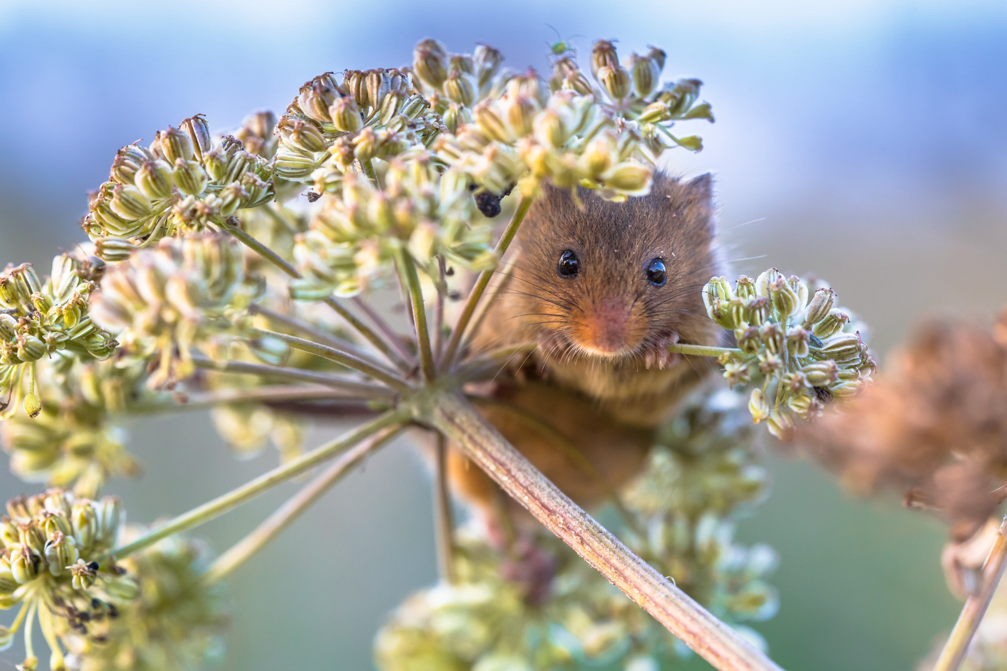 SS_Eurasian Harvest mouse (Micromys minutus) feeding on seeds of cow parsley (Anthriscus sylvestris) and looking in the camera
